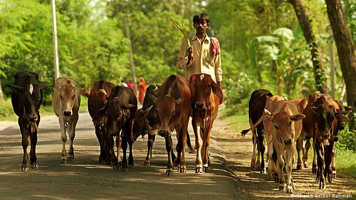 Name of the photographer/Creditline: © Shaikh Azizur Rahman. Picture taken in: February 2012. Location: Kolkata Description of the picture: Cows being taken to an Indian cattle market, close to Bangladesh border zugeliefert von asia.english/Sarah Berning