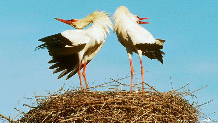 Ein Weissstorch-Paar festigt die Paarbindung durch gemeinsames Klappern. (Copyright: picture alliance/wildlife)