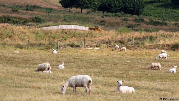 Sheep graze in a field in Kinross, Scotland. In the background, the roof of the earthship (Copyright: Irene Quaile, September 2012)
