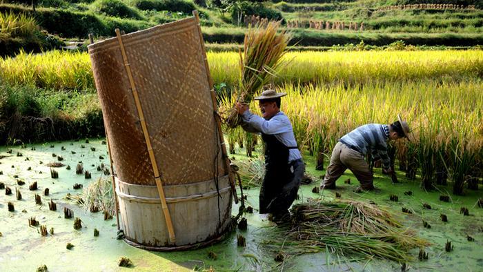 Reisbauern Zhejiang