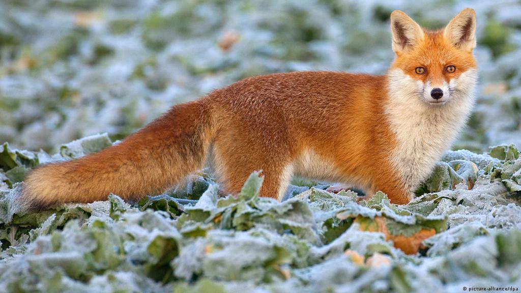 Одноухая и трехногая лисица вызвала переполох в Германии (фото) | Информация о Германии и советы туристам | DW | 20.10.2020