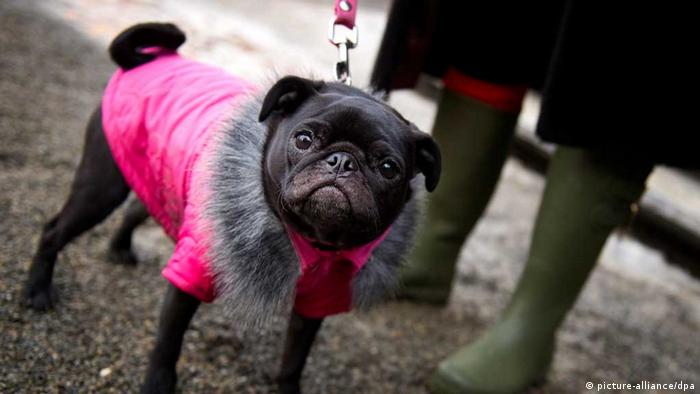 Pug dog in pink coat (picture-alliance/dpa)