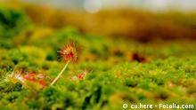 Sonnentau © cu.here #26873849