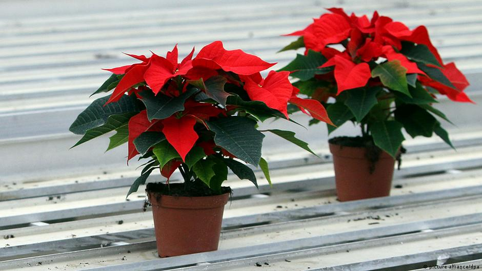 Рождественская звезда цветок в домашних условиях уход 68