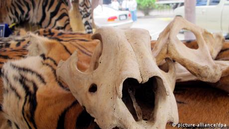 Confiscated tiger skins and skulls lie on a customs table in Bangkok