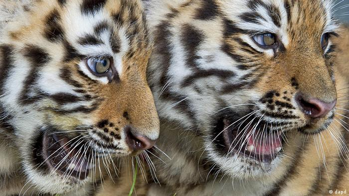 Two tiger cubs (dapd)