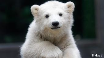 Polar bear cub Anori explores the outdoor enclosure at the zoo in Wuppertal, Germany, on Monday, April 23, 2012. (Photo: Frank Augstein/AP/dapd)