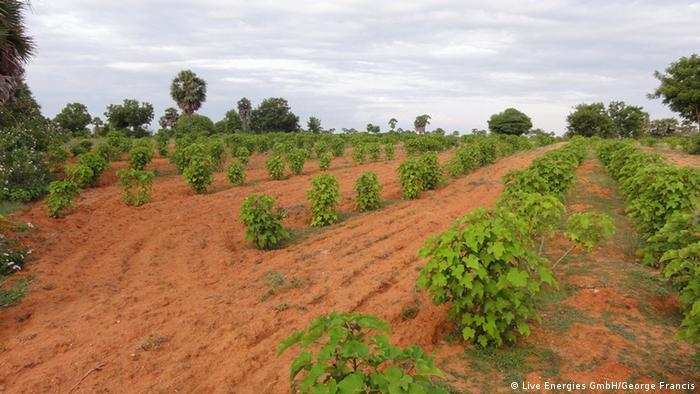 Plantación de Jatropha para la producción de biodiésel.