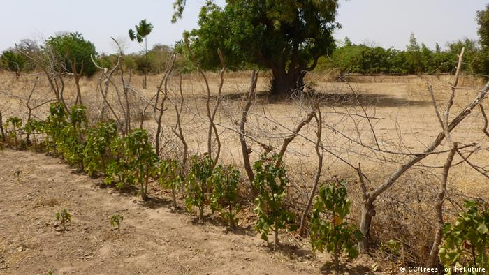 Jatropha plant in Senegal
