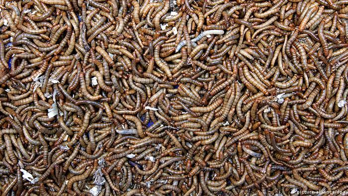 Ličinke kukca brašnjaka