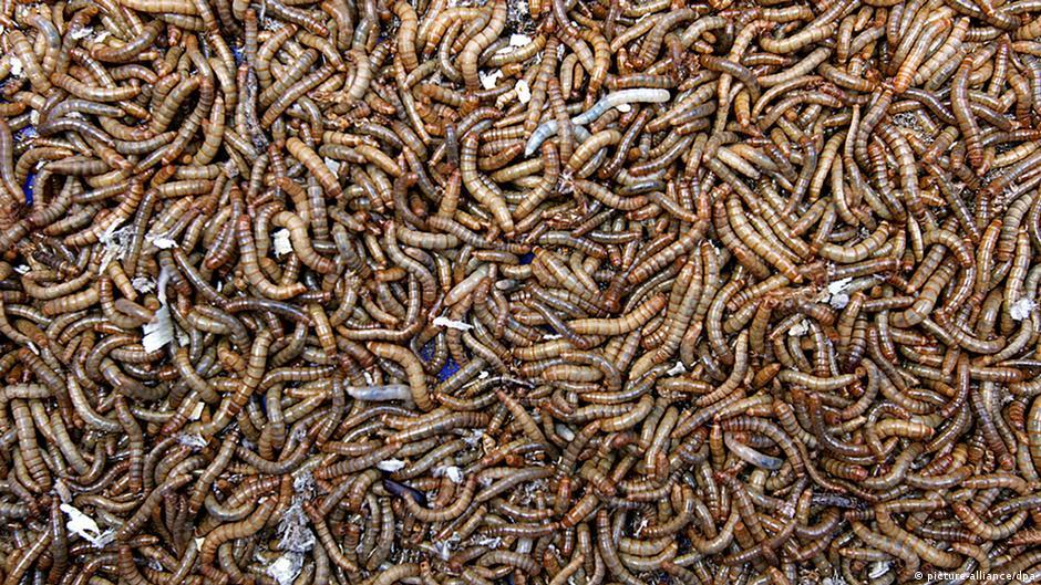 lawan bakteri dengan serangga iptek dw. Black Bedroom Furniture Sets. Home Design Ideas