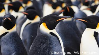 Kaiserpinguine (International Polar Foundation)
