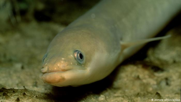 Dec 28, 2008 - Bavaria, Germany - European Eel, Anguilla Anguilla. Exact date unknown. fish, swimming, plants, freshwater +++(c) dpa - Report+++