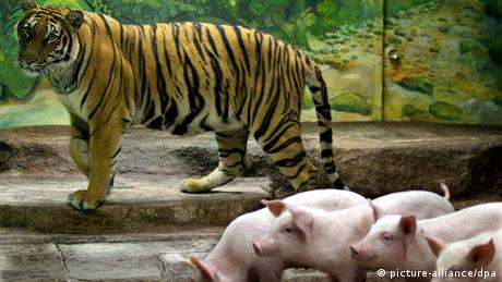 Tigers and pigs at a tiger farm near Bangkok (photo: picture-alliance/dpa)