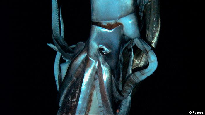 A close up of a giant squid in its natural habitat - the squid is blue in color and the background is pitch black