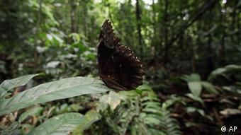 Schmetterling im Yasuni Nationalpark – Ecuador