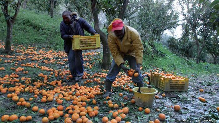 African immigrant labourers (photo: EPA/FRANCO CUFAR)