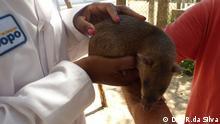 Ratten Trainerin von APOPO APOPO eine NGO aus Belgien, in einem Projekt in Mozambik Ort: Tiermedizin Labor an der Universidade Eduardo Mondlane / Maputo/ Mosambik Datum: 10.01.13