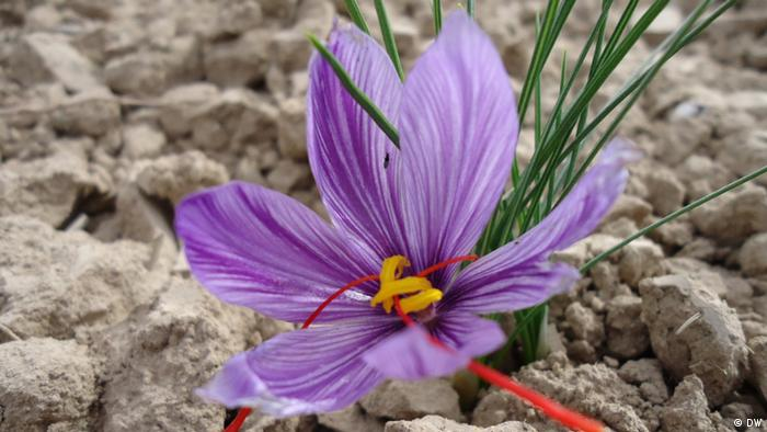 shows a plants of Saffron in Helmand province of Afghanistan.15.01.2013.Photo:Rohullah Elham Note: Mr Elham is Reporter in Afghanistan and we have right to use the photos.