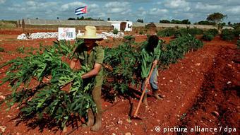Bauern arbeiten auf dem Feld, im hintergrund eine kubanische Flagge (Foto: picture-alliance / dpa)