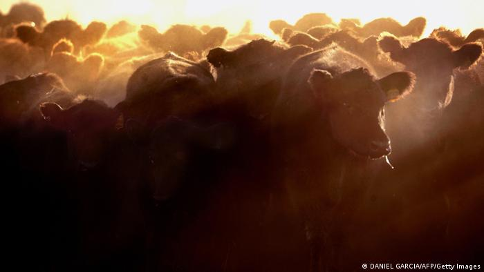 Cattle in Argentinia photo: DANIEL GARCIA/AFP/Getty Images)