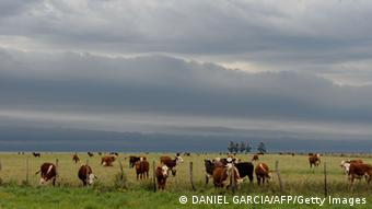 Argentinian cows