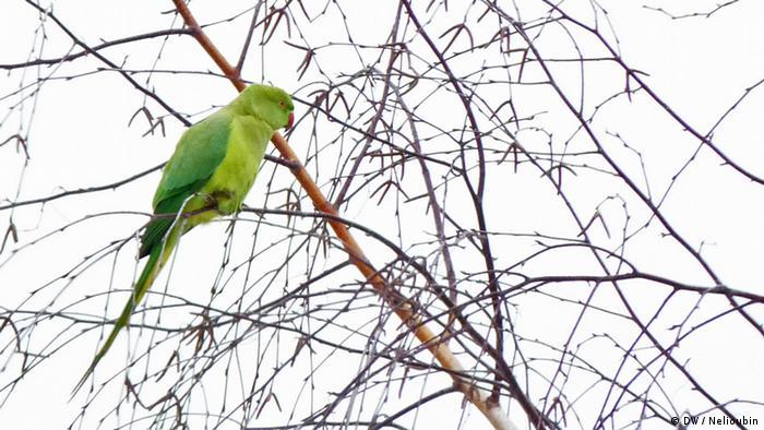 Дикий попугай на березе в Кельне