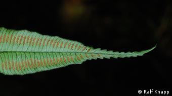 "+++Ralf Knapp+++ ralf.knapp@gmail.com forscht in Taiwan über Artenvielfalt, u.a. den endemischen Farn ""Angiopteris itoi"""