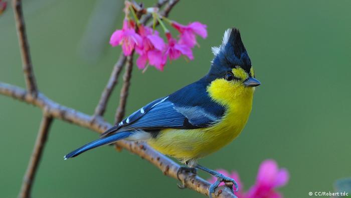 Foto: Ein bunter Vogel sitzt auf einem Zweig (Foto: CC BY SA 3.0: Snowyowls/Wikipedia: http://commons.wikimedia.org/wiki/File:Mikado_Pheasant_398.jpg?uselang=de)