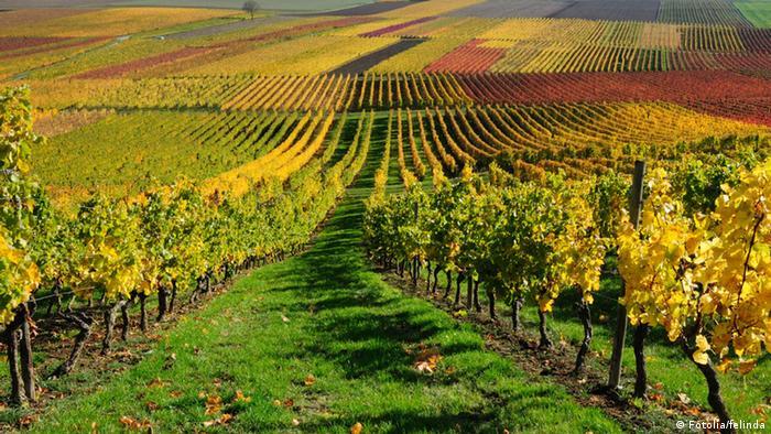Weinstock Herbst Farben