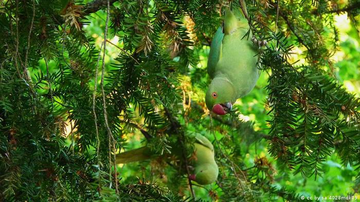 Кольчатые попугаи в Гейдельберге кормятся на ветках тиса