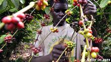 Afrika Elfenbeinküste Kaffee Plantage
