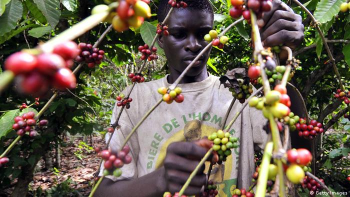A man works on a coffee plantation in the Ivory Coast