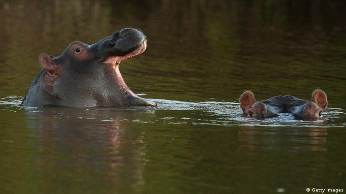 Flusspferd Südafrika