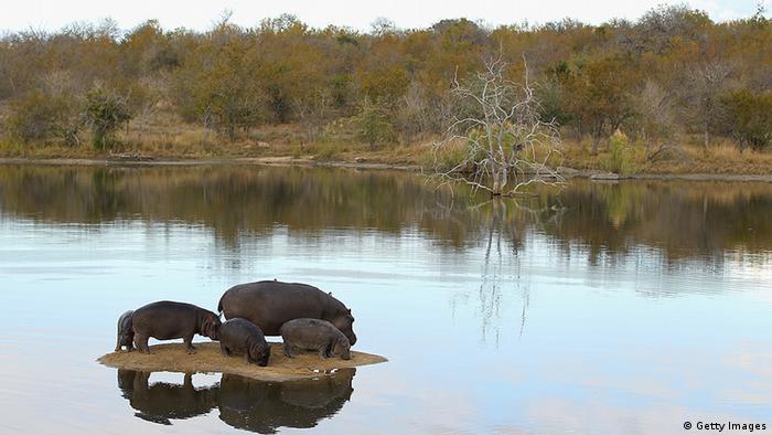 Flusspferde Südafrika (Getty Images)