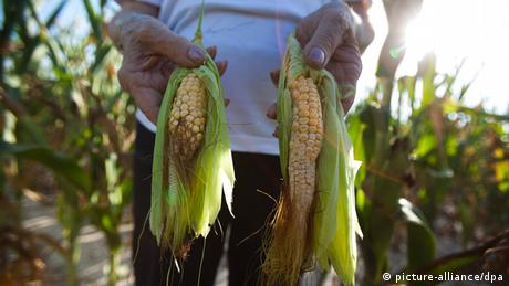 Corn dried up in drought (Copyright: JIM LO SCALZO/ dpa)