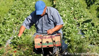 A migrant worker at work in a field (C) nick barounis - Fotolia.com