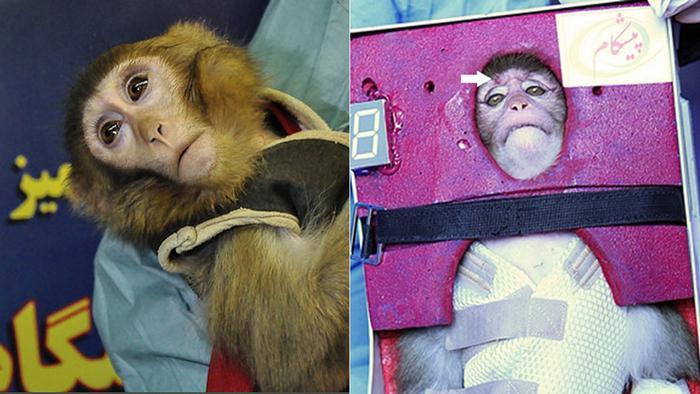 تصویر میمون فضانورد ایران بعد و قبل از پرواز