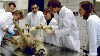 Oliver Krone (second from right) starts an autopsy on a dead wolf Copyright: Oliver Krone