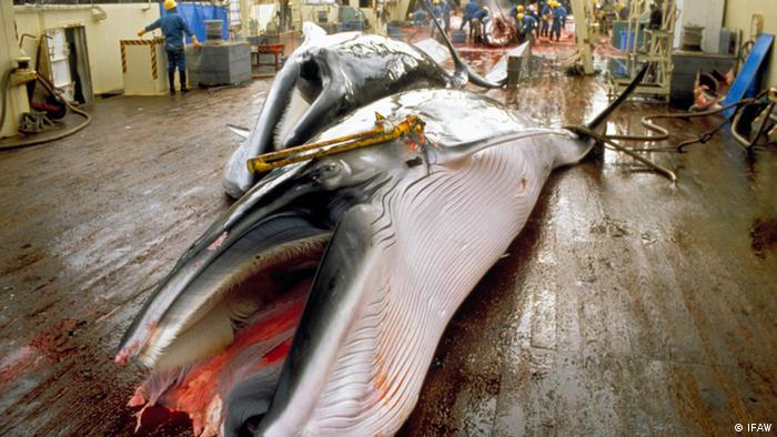 Minke whales waiting to be flensed on the Japanese factory ship Nisshin Maru