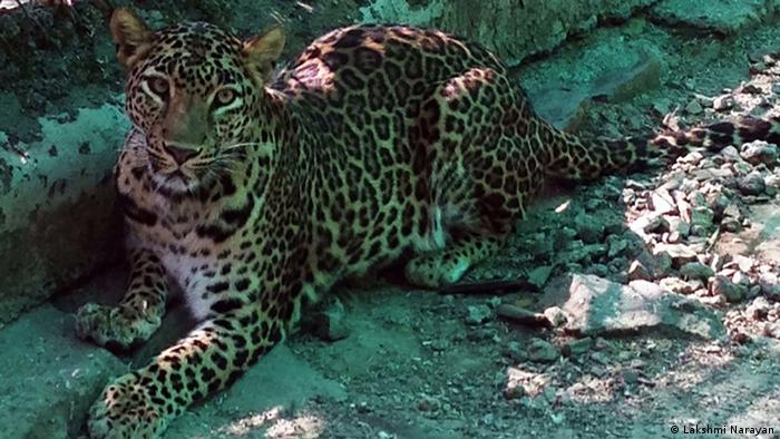 leopard in hindi language