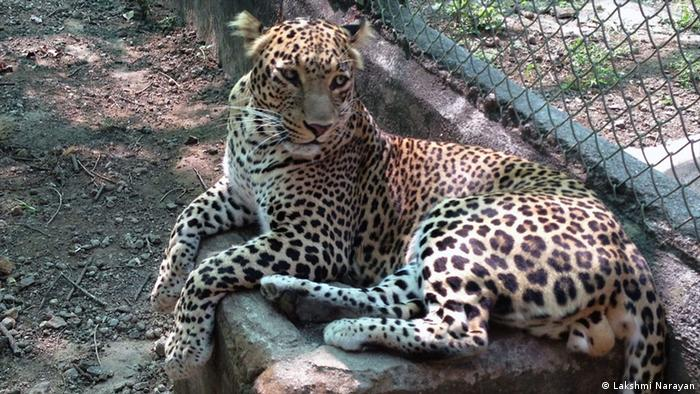 Title: Another adult leopard at a rescue center Who is the photographer: Lakshmi Narayan When was the picture taken: Dec. 29, 2012 Where was the picture taken: Manikdoh Leopard Rescue center, about 150 kms from Mumbai Description: What are we seeing in this picture? Who are we seeing? An adult leopard in an enclosure in a rescue center in Maharashtra state. There are three kinds of leopards here. Orphaned cubs that were separated from their mothers at a very young age and incapable of fending for themselves, problem animals that entered human settlements and attacked people, and injured cats that wont be able to survive in the wild.