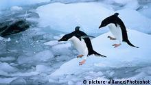 Antarktis Vögel Adeliepinguin auf Eisscholle