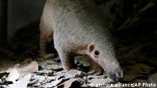 Pangolin Schuppentier Rehabilitationszentrum Kambodscha (picture alliance/AP Photo)