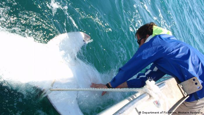 Department of Fisheries Western Australia Researcher Nick Jarvis tagging a Great White