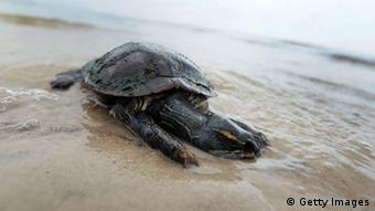 dead turtle lies in the surf (Photo by Joe Raedle/Getty Images)