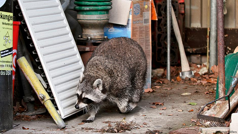 Raccoons wreak havoc with agriculture and native species in