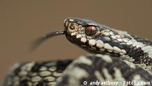 Schlange, Reptilie #42937865 Copyright: andyastbury - Fotolia.com A European Adder (Vipera berus) basking in the sun and flicking it's tongue to taste the air. In areas the scales show a distinct iridescence.