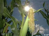 En Alemania  hay cerca de 2.700 hectáreas de maíz genéticamente manipulado.