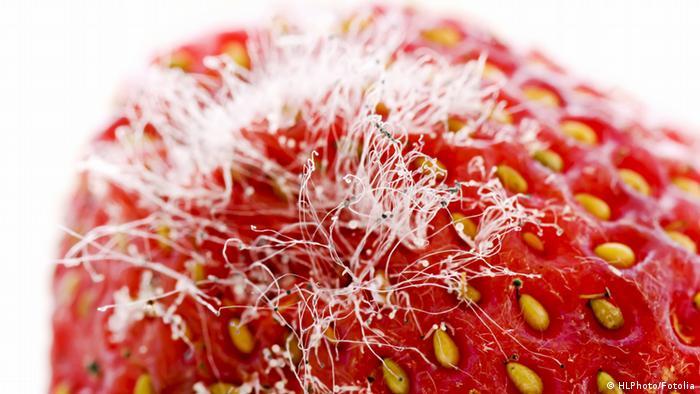 Schimmelpilz auf Erdbeere. (Copyright: HLPhoto - Fotolia.com)